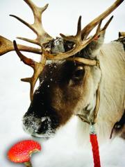 p723_reindeer-300-e7024